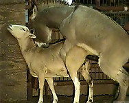 Hardcore farm bestiality of two stallions ends with a cumshot - picture 3