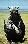 Gigantic rhinos have an outstanding outdoor sex - picture 2