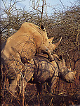 Gigantic rhinos have an outstanding outdoor sex - picture 5