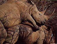 Gigantic rhinos have an outstanding outdoor sex - picture 6