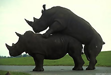 Gigantic rhinos have an outstanding outdoor sex - picture 8