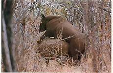 Gigantic rhinos have an outstanding outdoor sex - picture 10