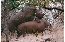 Gigantic rhinos have an outstanding outdoor sex - picture 12