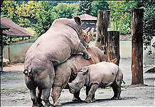 Gigantic rhinos have an outstanding outdoor sex - picture 15