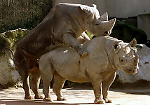 Gigantic rhinos have an outstanding outdoor sex - picture 16