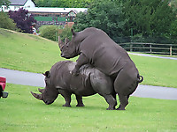Gigantic rhinos have an outstanding outdoor sex - picture 18
