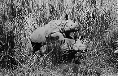 Gigantic rhinos have an outstanding outdoor sex - picture 20