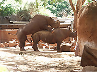 Gigantic rhinos have an outstanding outdoor sex - picture 21