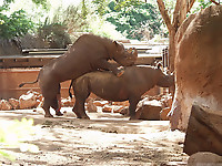 Gigantic rhinos have an outstanding outdoor sex - picture 23