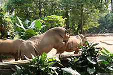 Gigantic rhinos have an outstanding outdoor sex - picture 25