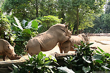 Gigantic rhinos have an outstanding outdoor sex - picture 26