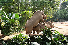 Gigantic rhinos have an outstanding outdoor sex - picture 28