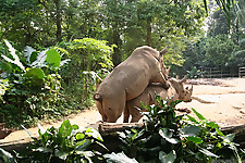 Gigantic rhinos have an outstanding outdoor sex - picture 29