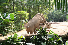 Gigantic rhinos have an outstanding outdoor sex - picture 30
