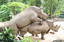 Gigantic rhinos have an outstanding outdoor sex - picture 31