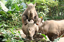 Gigantic rhinos have an outstanding outdoor sex - picture 32