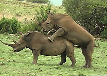 Gigantic rhinos have an outstanding outdoor sex - picture 33