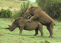 Gigantic rhinos have an outstanding outdoor sex - picture 34
