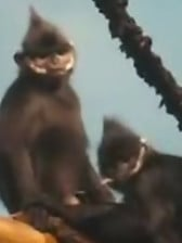 Miniature monkey gives a deep blowjob on hidden cam