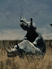 Brutal-looking rhinos are fucking in the doggy style pose