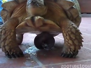 Angry-looking turtle with a very weird boner