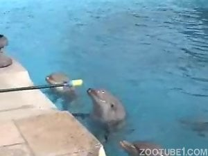 Three dolphins are playing with divers in aqua park